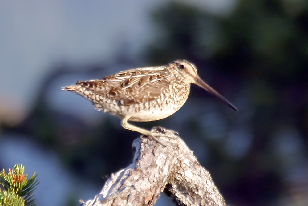 A Wilson's snipe, like this one seen in Alaska, was one of the highlights identified by volunteers during the annual Christmas Bird Count two weeks ago. (Photo provided by Larry Master, www.masterimages.com)