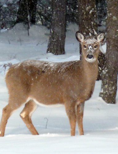 A deer takes notice as snow falls on a quiet morning. (Provided photo — Joe Hackett)