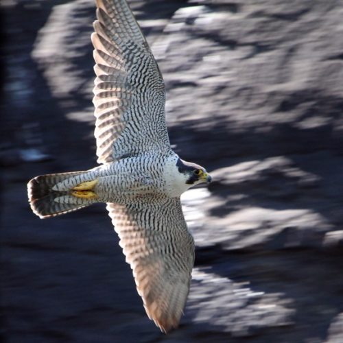 A peregrine falcon flies through the air near a Lake Champlain-area nesting site, or eyrie. (Photo provided by Connor Paschke — NYSDEC)