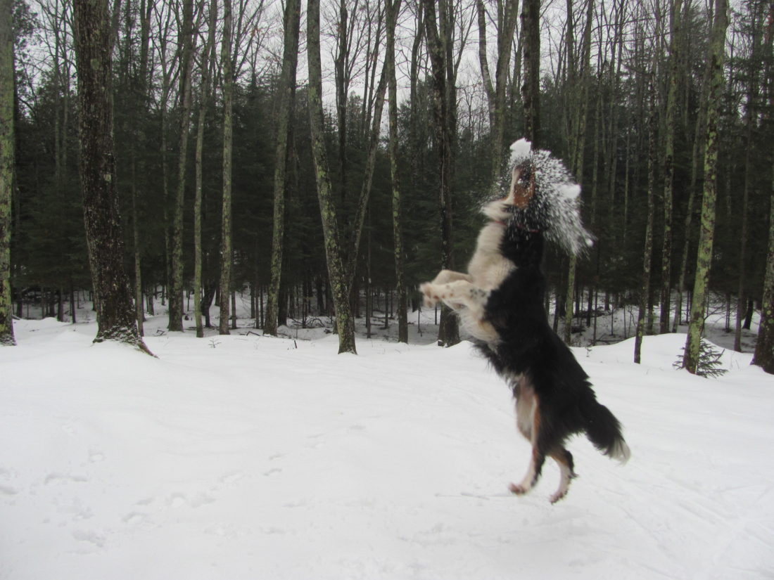 Courtesy photo Ambo the collie catches a snowball.