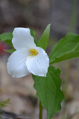 Courtesy photo Shown is a white trillium.