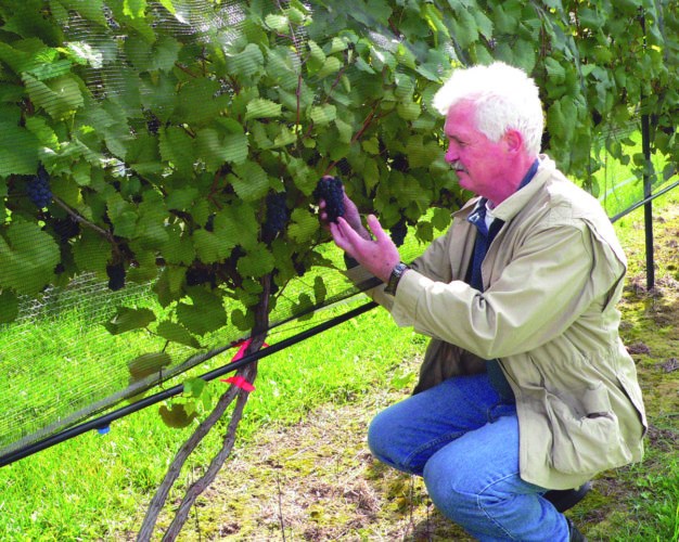 Daily Press photo Dave Anthony, co-owner and operator of Northern Sun Winery examines a crop of grapes. All grapes used by the winery are grown on its 5.5-acre vineyard, and their wines are produced and bottled entirely on-site.