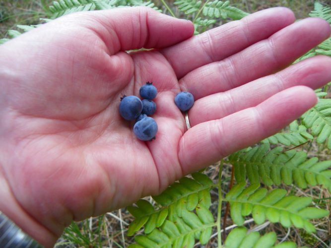 Courtesy photo Shown is a handful of freshly picked blueberries.