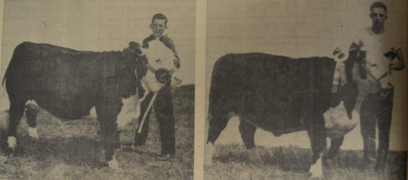 Daily Press photo Grand Champion of the 4-H and FFA fat stock at the U.P. State Fair in August of 1958 was this 1190 pound steer entered by William Cox, 15, son of Mr. and Mrs. Edgar Cox of Manistique. Reserve Champion award was won by a steer entered by Steve Pscondna of Garden, also a 4-H member.