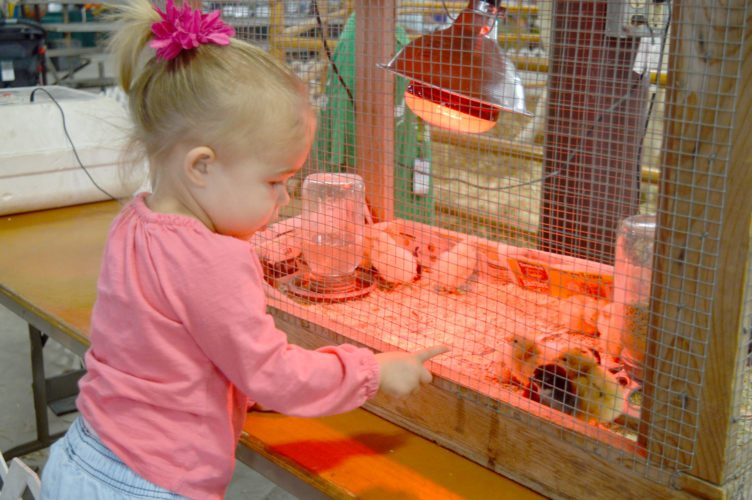 Haley Gustafson | Daily Press  Vivienne Delvaux, 2, checks out baby chickens in the Miracle of Life Pavilion at the Upper Peninsula State Fair Tuesday afternoon. The pavilion, a popular destination for many fairgoers, gives people the chance to see baby cows, lambs, pigs, and other animals up close. Other displays in the building include Growing UP Foresters and a cheese carver. The Miracle of Life Pavilion will be open for the duration of the fair, which concludes Sunday.