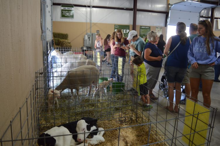 Haley Gustafson | Daily Press  Fairgoers check out a newly-born calf and lambs at the Miracle of Life Pavilion during the Upper Peninsula State Fair in Escanaba Wednesday afternoon. The pavilion provides educational opportunities for people to learn about the agricultural industry.