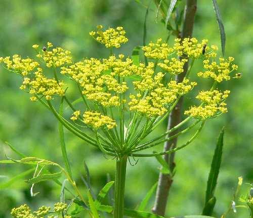 Courtesy photo Wild Parsnip.