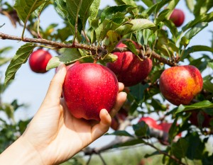 Picking your own apples in a local orchard is part of enjoying fall in the Fort.
