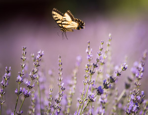 Butterfly-at-Lavender-Farm-of--Niles-7573