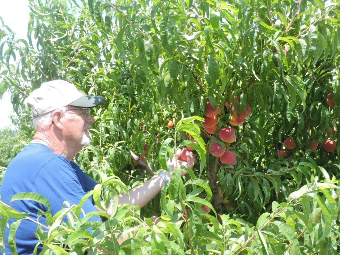 Robert A. DeFrank ORCHARD ANNIVERSARY — William Packer tests the ripeness of the peaches in this orchard. The orchard is marking its 100th year in business in Adena. Robert DeFrank