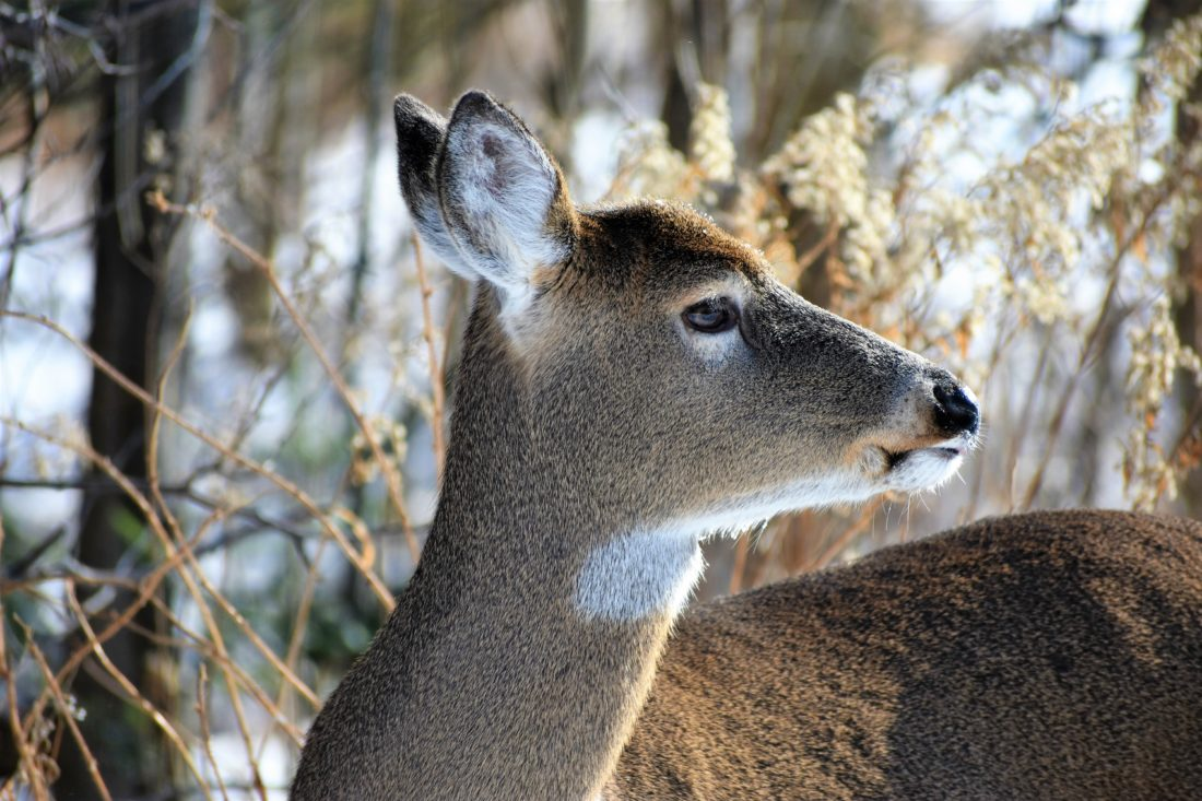 Betsy Bloom Photo Deeper snow likely will have deer sticking to regular winter habitat.