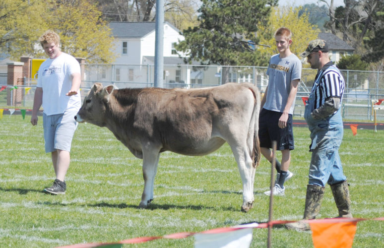 The Cow Bingo fundraiser raised more than $15,000 this year for the Kingsford High School Academic Booster club. Shown here is Joe Kriegl, event official, with Brigette the cow.