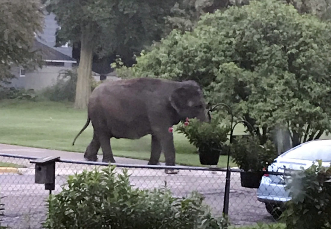 Elephant escapes from circus museum, wanders city streets