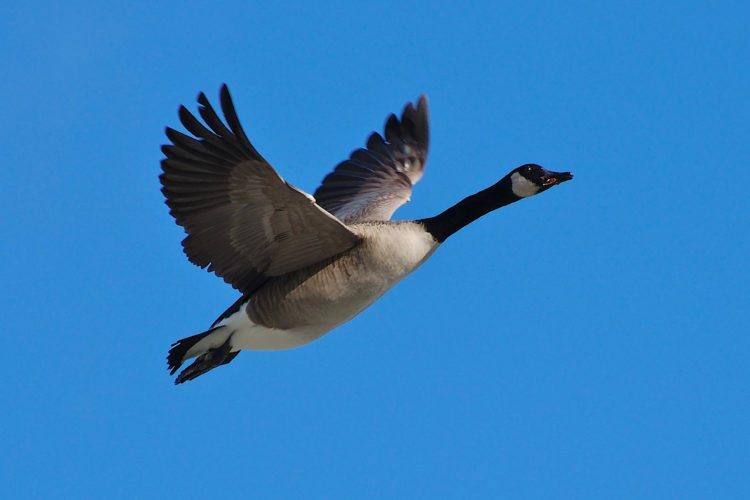 Giant Canada geese once were thought to be extinct, but today are very plentiful around Michigan.