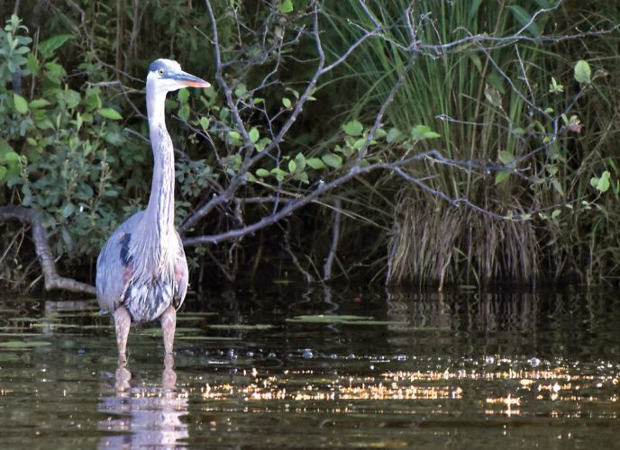 This great blue heron fishing on Six Mile Lake in northern Dickinson County appeared to have a few feathers askew, a sign it could be molting as a number of bird species do in the summer. Unlike the Canada geese and mallard ducks, though, the heron had little trouble flying. Betsy Bloom/Daily News Photo