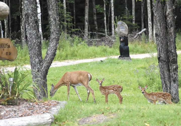 These twin fawns still show fairly distinct spots as they follow their mother just off Six Mile Lake Road. Both already were sampling the greenery whenever the doe stopped to graze. (Betsy Bloom Photo)
