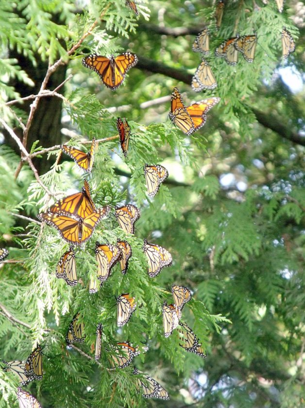 Janet Ekstrum Photo Monarchs congregate in the northern white cedar trees on Peninsula Point in Delta County.