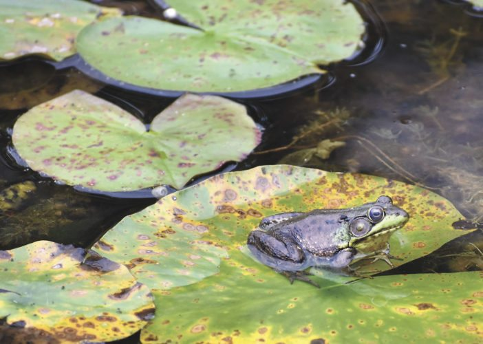 A mature green frog, the most common variety found in Michigan's Upper Peninsula, strikes the classic pose on lily pads at Six Mile Lake. Though people sometimes mistakenly believe these large frogs are bullfrogs, the bullfrog is considered very rare this far north. (Betsy Bloom Photos)
