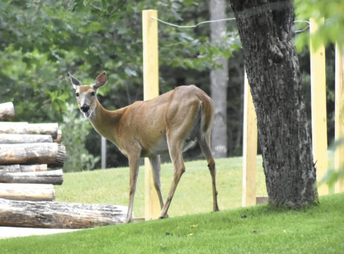 Apple-munching deer are the most likely source of seeds that produce trees at uncanny locations, according to David Bedford, a senior research fellow at the University of Minnesota's Horticultural Research Center. (Betsy Bloom Photo)