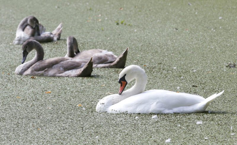 MUTE SWANS SWIM in the Lullwater, covered by duckweed, in Brooklyn's Prospect Park in New York. The non-native species is targeted for destruction by wildlife managers in New York and other states because of the threat it poses to aquatic habitat and native waterfowl. But animal welfare groups are fighting plans to reduce the population. (AP Photo/Kathy Willens)