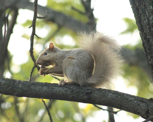 """A squirrel eats a black walnut out of a tree on Iron Mountain's east side. Several area residents have reported seeing the """"blonde"""" squirrel in the area over the summer. It's a gray squirrel with a white color morph. (Theresa Proudfit/Daily News Photo)"""