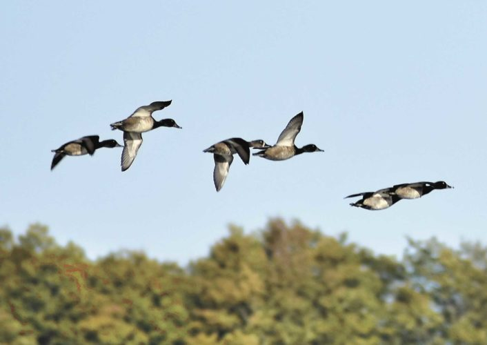 These ring-necked ducks are among the waterfowl making a stop at Six Mile Lake as they migrate through north Dickinson County. (Betsy Bloom/Daily News Photo)