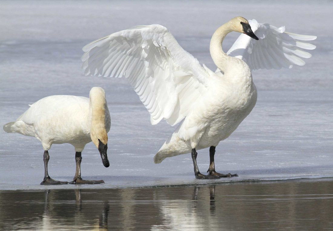 A PAIR OF trumpeter swans on ice along a channel of Westchester Lagoon in Anchorage, Alaska, in March 2015. No state currently has hunting seasons for trumpeter swans, which have made a comeback in recent decades thanks to efforts to reintroduce them. Now the U.S. Fish and Wildlife Service is working on a plan aimed at letting hunters shoot them legally in certain states that allow tundra swans hunting. (AP Photo)