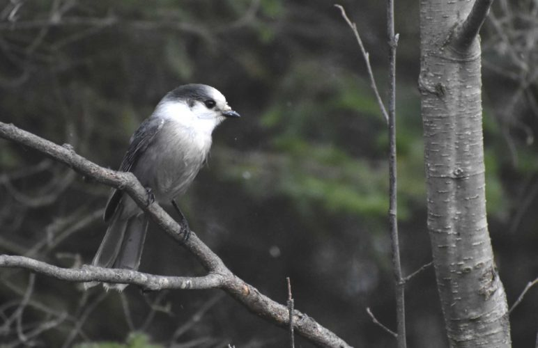 A GRAY JAY pays a visit to Six Mile Lake in north Dickinson County. (Betsy Bloom/Daily News photo)