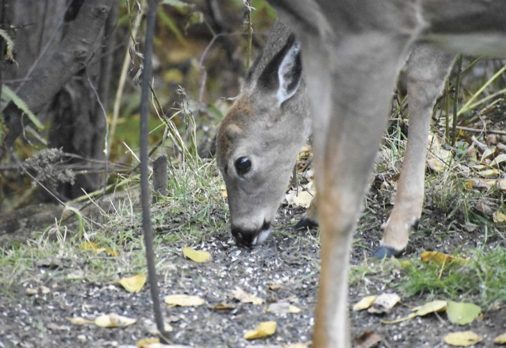 A young buck, above, and likely its mother, second photo, share the spoils at Six Mile Lake.