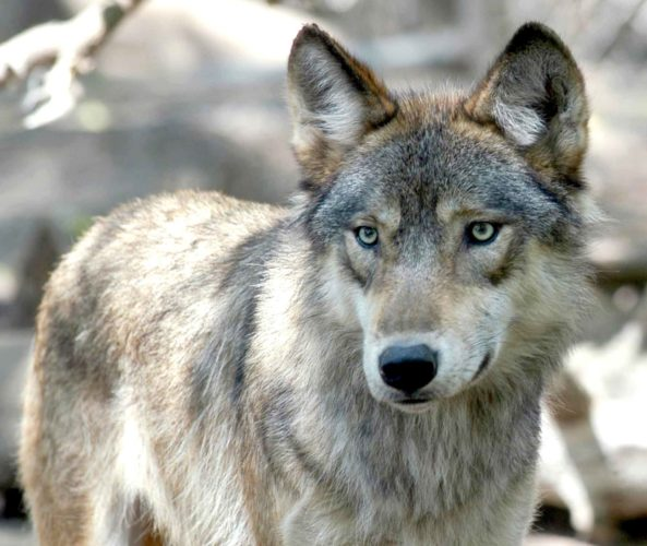 A GRAY WOLF. A new Wisconsin bill would prohibit law enforcement from prosecuting anyone for killing a wolf, unless the federal government removes the animal from the federal Endangered Species list.  (AP photo)