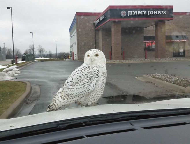 A snowy owl landed on the hood of Carol Bronzyk's car while she was at Jimmy John's on Wednesday, staying long enough that she and others could photograph the bird, which normally lives in the arctic. Wildlife experts say the Great Lakes states appear to have a significant influx of the large, striking white owls this year. (Carol Bronzyk photo)