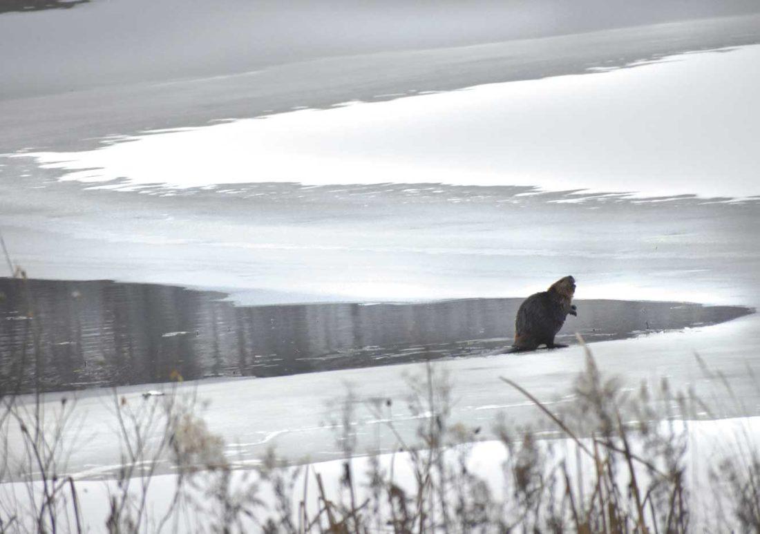 A beaver ventures onto November ice at Six Mile Lake. (Betsy Bloom/Daily News Photo)