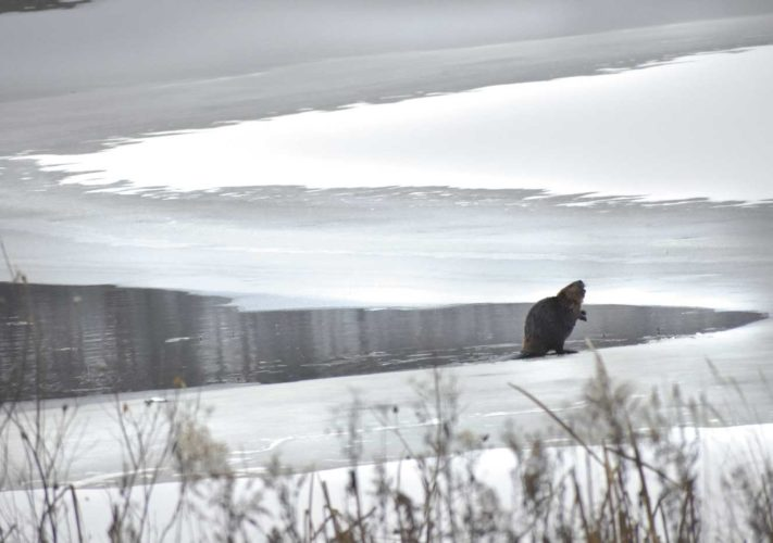A beaver ventures onto November ice at Six Mile Lake. (Betsy Bloom/Daily News Photo)