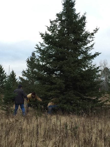 This 20-foot evergreen, cut earlier this week, will be transported to First National Bank & Trust in Iron Mountain on Thursday. The community is invited to attend the tree escort, beginning at 3:30 p.m. Thursday, and return for the official tree lighting ceremony on Friday, Dec. 15, beginning at 5 p.m.