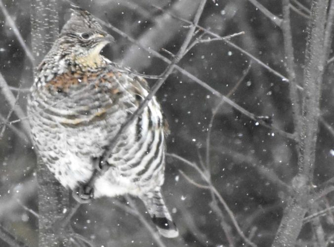 A ruffed grouse forages in northern Dickinson County. (Betsy Bloom/Daily News photo)