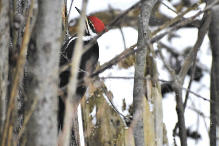 A pileated woodpecker surveys a tree at Six Mile Lake. This crow-sized bird probably is the largest of North America's woodpeckers. (Betsy Bloom/Daily News Photos)