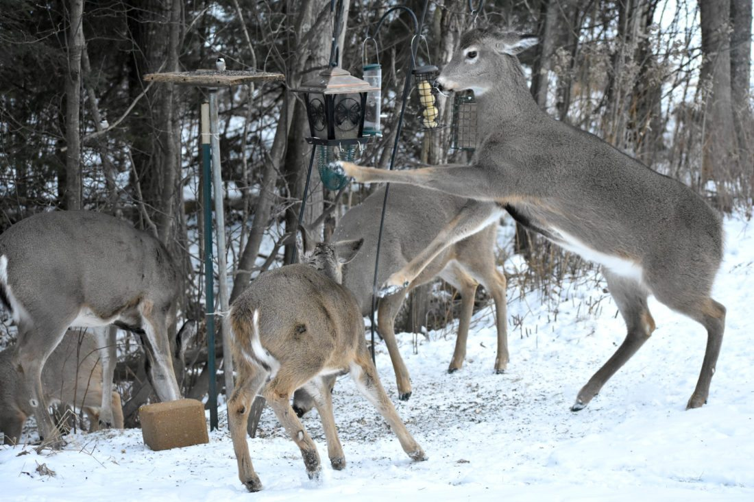 At Six Mile Lake, about nine to 10 deer now regularly congregate under the bird feeder.