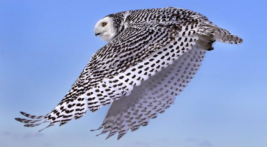 A snowy owl flies away after being released along the shore of Duxbury Beach in Duxbury, Mass. (AP Photo)