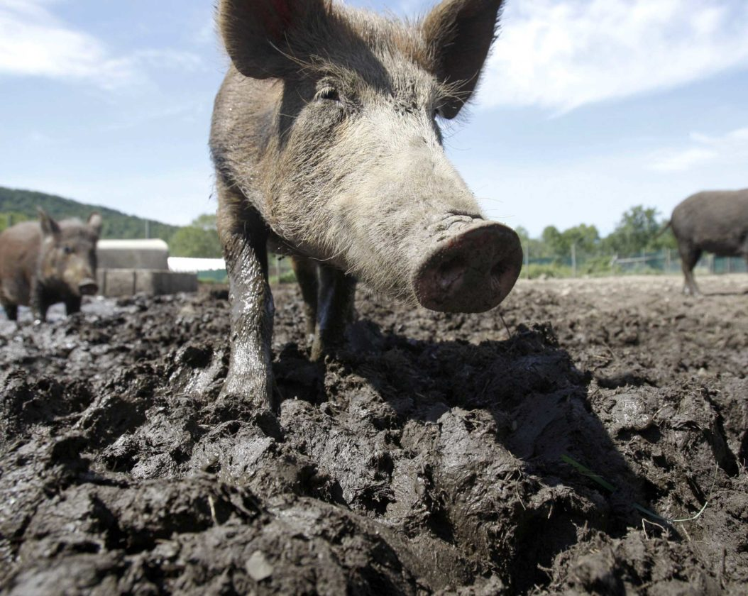 A FERAL HOG in a holding pen at Easton View Outfitters in Valley Falls, N.Y. in 2011. New York has since eradicated feral swine within its boundaries. (AP Photo/Mike Groll, File)