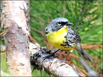 A Kirtland's warbler. Photo by U.S. Fish and Wildlife Service/Joel Trick