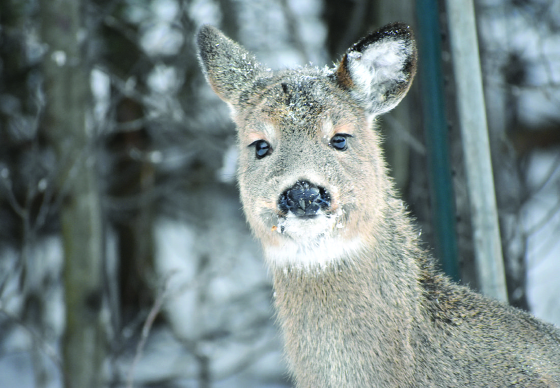 Deer are able to withstand extreme cold with relatively little trouble if in good condition. (Betsy Bloom/Daily News Photo)