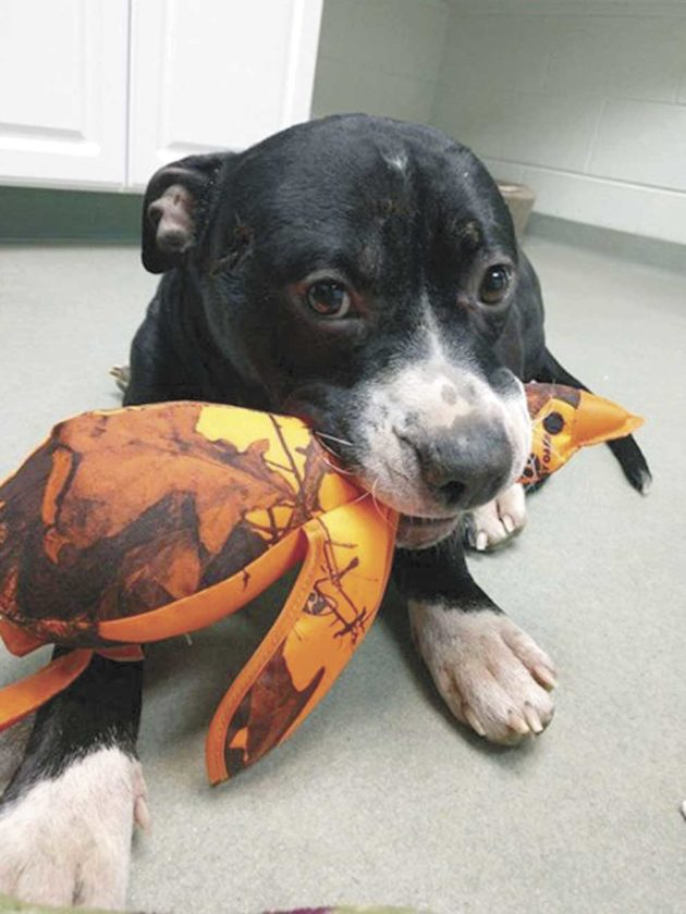 SARGE WITH A new toy left during a recent visit by the man who found him lying on old M-69 in Iron County, shot and suffering from hypothermia. The young pit bull-type dog is expected to make a full recovery but will require expensive surgery at the University of Wisconsin to repair a broken left front leg. (Submitted photo)