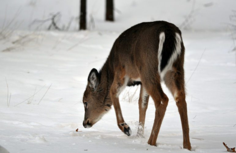 A young deer sniffs at a dead leaf on a winter day in Marquette County. (Michigan DNR photo)