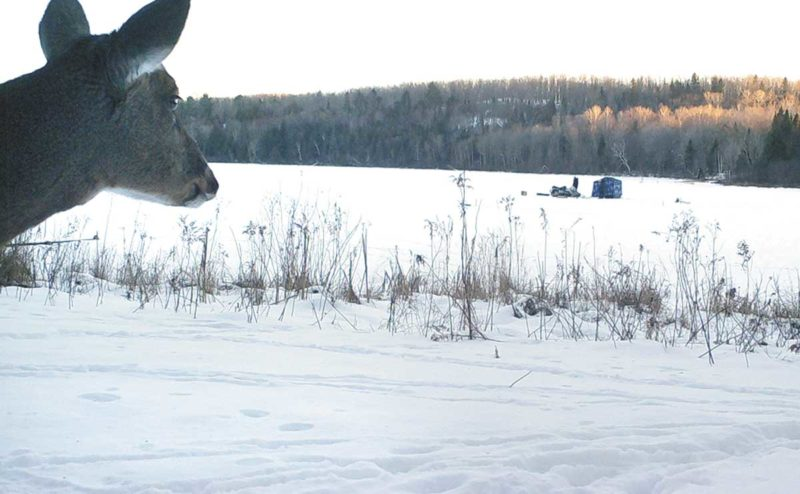 A deer looks on at ice fishermen on Six Mile Lake. (Betsy Bloom/Daily News Photo)