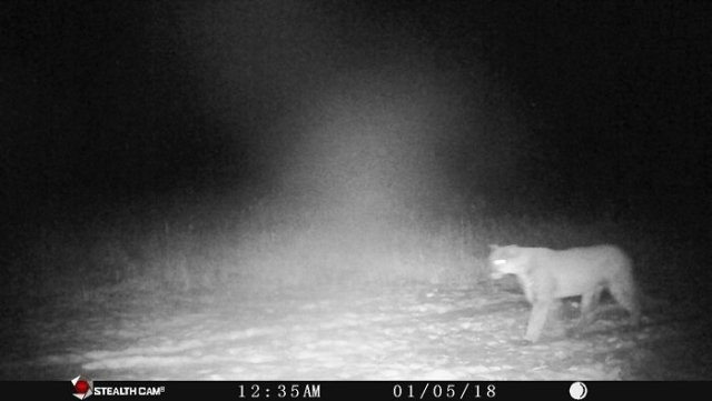 A trail camera photo shows a cougar north of Rosendale, Wis., in Fond du Lac County on Jan. 5. This is the most recent cougar sighting in Wisconsin, but the state has had 13 reports from early August through January.  (Photo provided by the Wisconsin Department of Natural Resources)