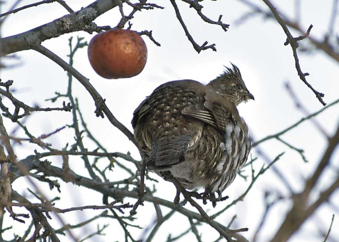 A ruffed grouse finds some sun Friday on an apple tree branch in northern Dickinson County. (Betsy Bloom/Daily News Photo)