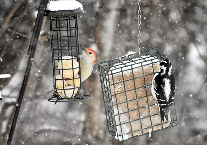 THE UPPER PENINSULA has its fair share of native woodpeckers, three of which are shown here. Above, left, a red-bellied woodpecker enjoys some suet and grain balls while a female hairy woodpecker feeds off suet. (Betsy Bloom/Daily News photos)