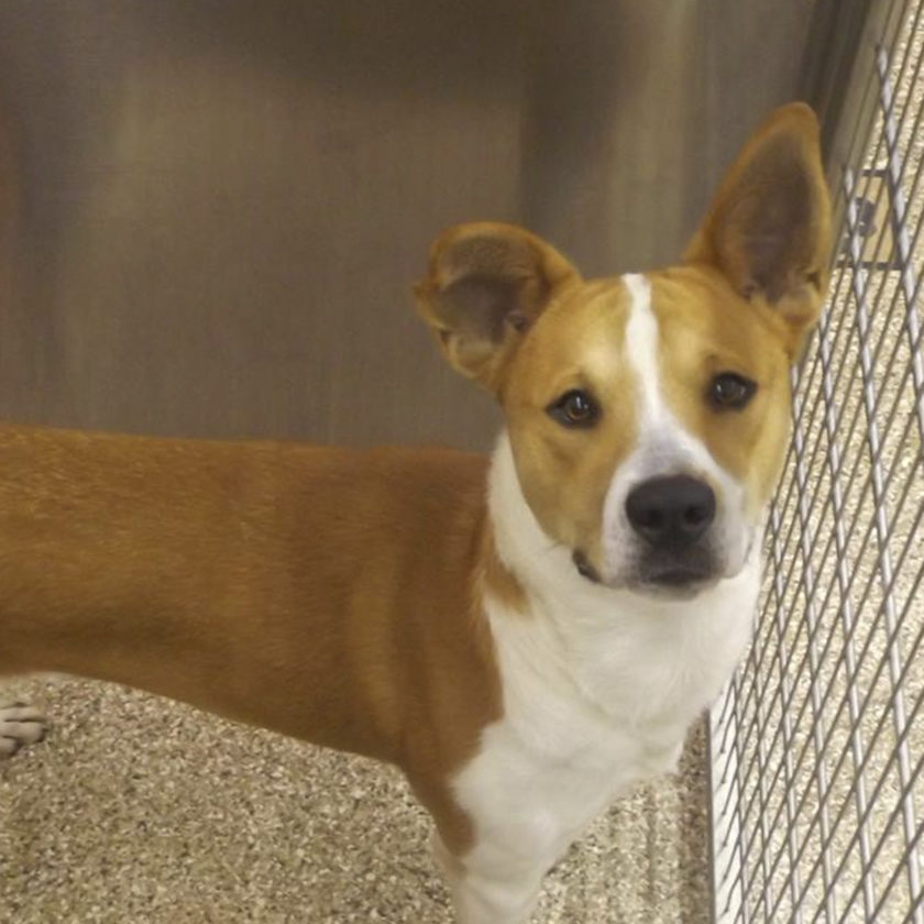 (Submitted photo) Hi! My name is Leo and I'm an 8-month-old Shepherd/Pit mix. I get along with kids, cats and other dogs. My only requirement (except for needing a loving new home) is a fenced yard. Please come in and meet me at the Berkeley County Humane Society, 554 Charles Town Rd., Martinsburg. 304-267-8389.