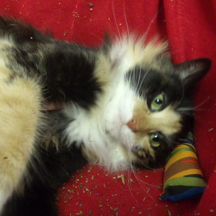 (Submitted photo) Hi! My name is November. I am a beautiful long haired Calico. I enjoy the company of kids and other cats. I'm only 11 months old and would love to keep your lap warm during the chilly evenings ahead. Please come in and meet me at the Berkeley County Humane Society, 554 Charles Town Rd., Martinsburg.304-267-8389.