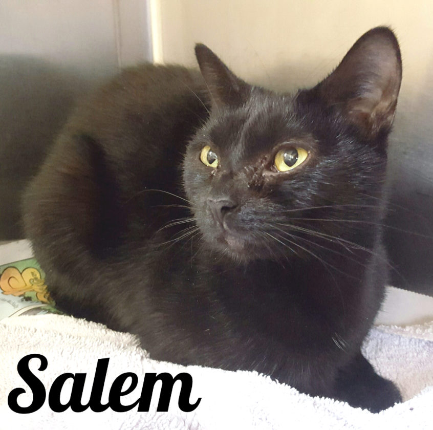 Hi, my name is Salem. I was found as a 3-week-old kitten on the side of the road. The nice people at AWS have been caring for me.  I am about a year-and-a-half old now and still searching for my forever home. I am shy but very friendly. I spend my days curled up in my bed with my sister, Alice. I would love a home of my own to stretch my legs.  Please come visit with me at the Animal Welfare Society in Jefferson County -304-725-0589